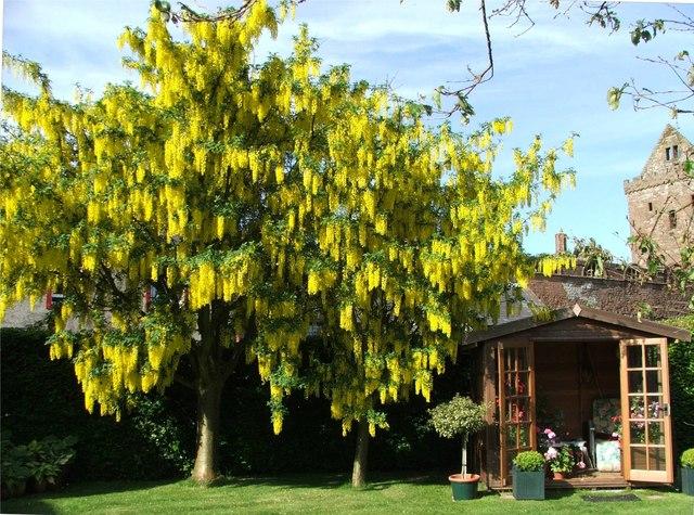 Laburnum Trees