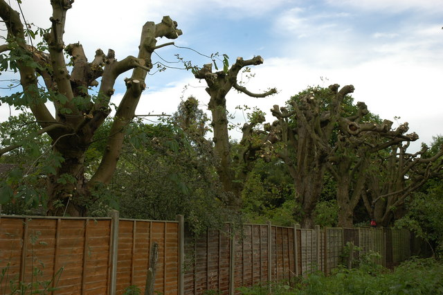 Pollarded trees on the disused railway line out of Bramley