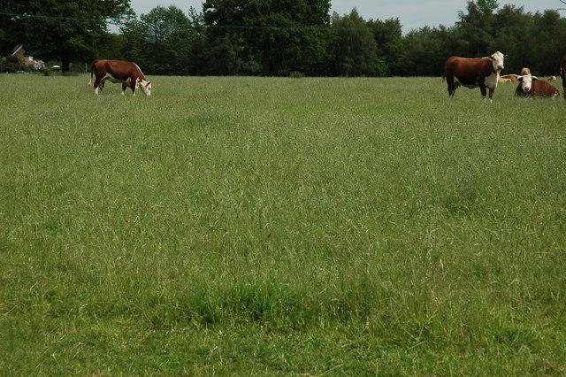 Cows on Westland Farm