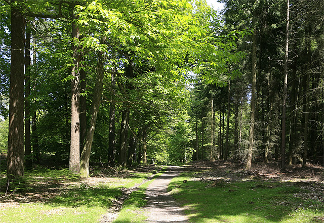 Woodland path in Wilverley Inclosure