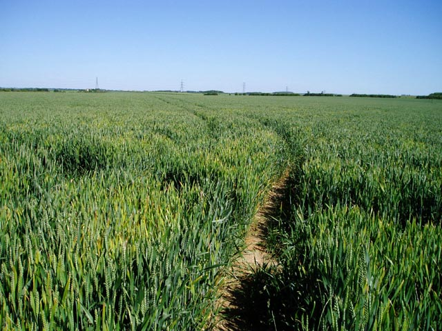 Ripening wheat near Great Wilbraham