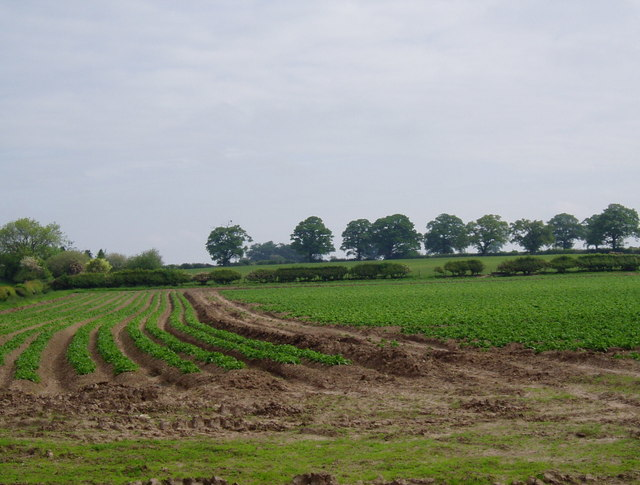 Field of Spuds