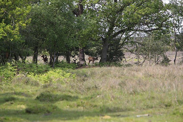 Deer lurking on the edge of Hincheslea Wood, New Forest