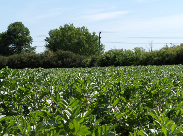 Bean crop, Didcot