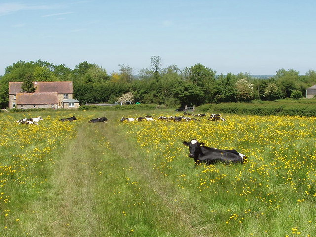 Cattle sitting among buttercups, Piddington