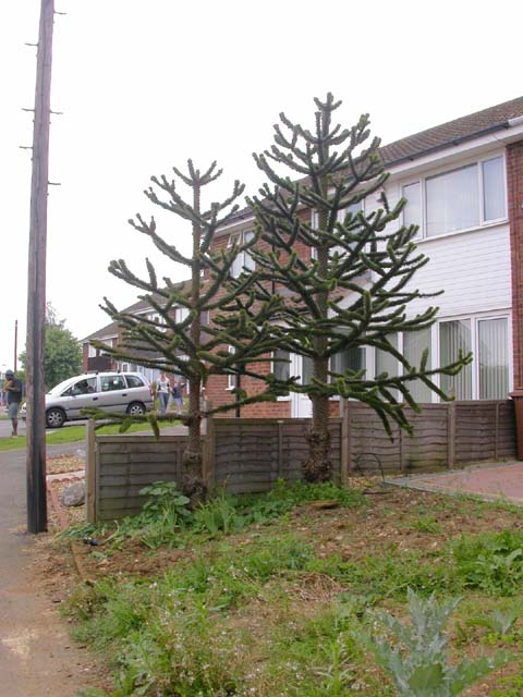 Small Garden with Two Monkey Puzzle Trees