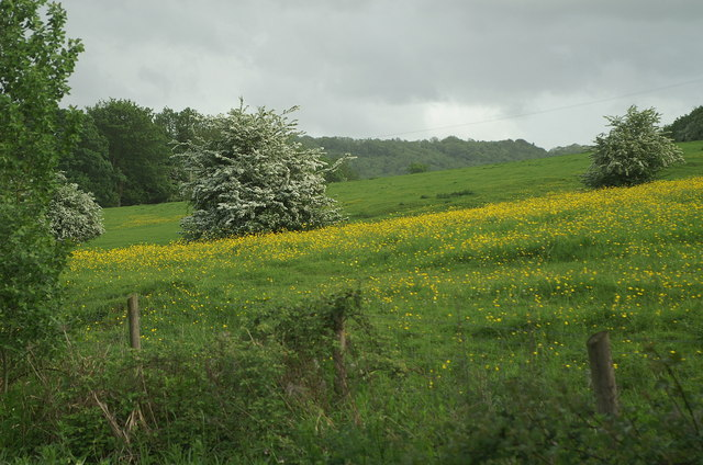 Buttercup Meadow, Claverton