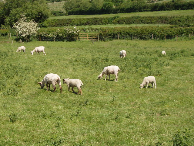 Shorn sheep with lambs on Oakcroft Farm, Piddington
