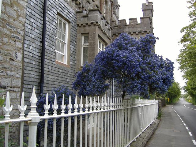 Ceanothus at Great Meadow, Isle of Man