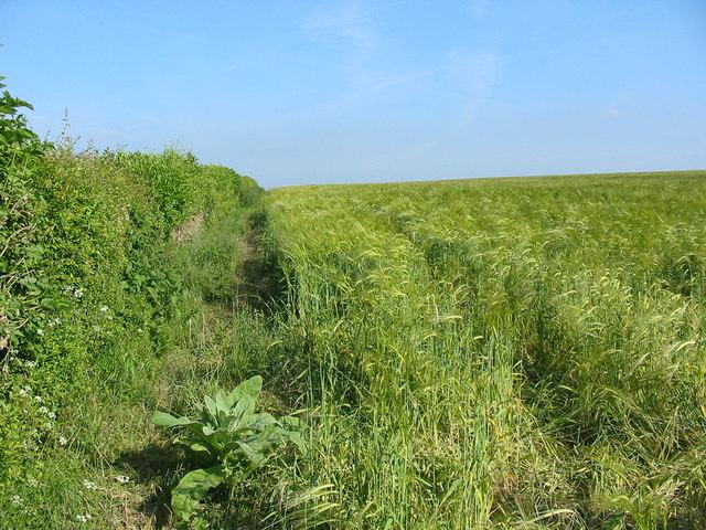 Hedgerow headland and barley Pentridge Dorset