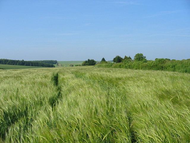 Field of barley Pentridge Dorset