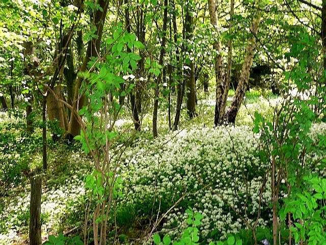 Wild Garlic in Little Wood