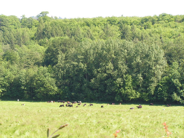 Cattle grazing in front of a woodland