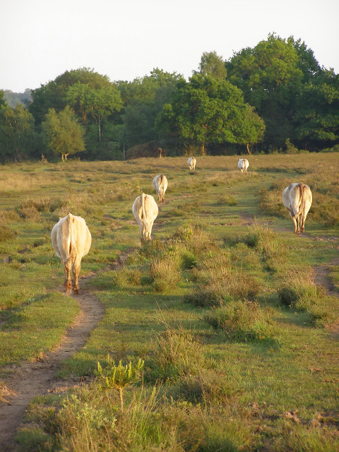 Cattle heading for Pottern Ford, New Forest