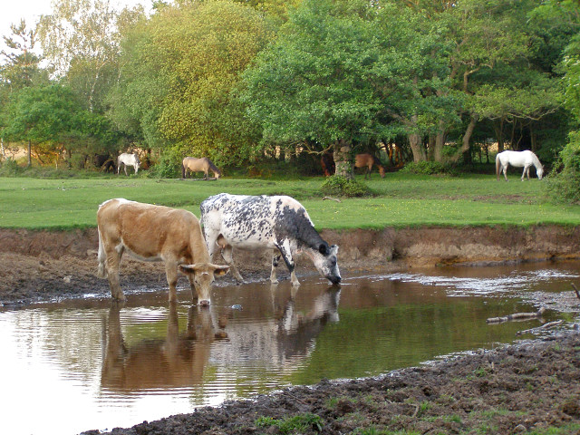 Cattle drinking at Pottern Ford, New Forest