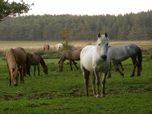 Ponies north of Pottern Ford, New Forest