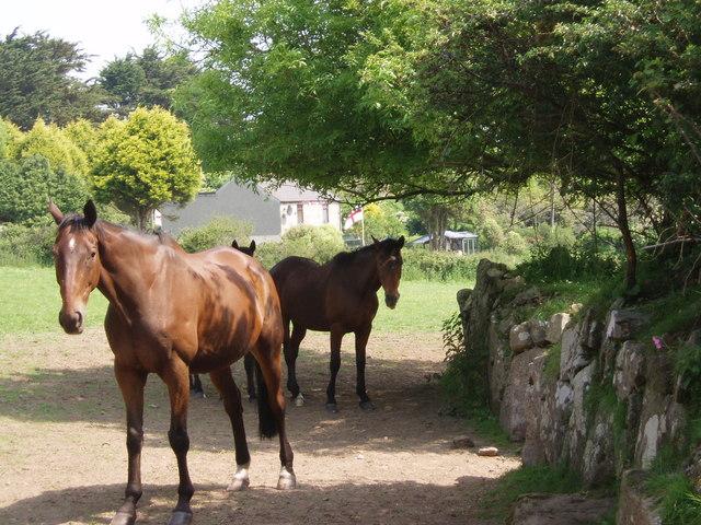Horses near Tregender