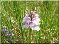 NG4924 : Orchid in Glen Sligachan by John Allan