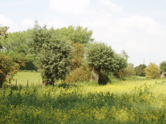 Pollarded willows, Peggs Farm, Haseley