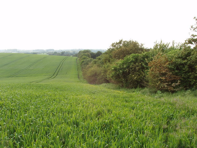 Wheatfield, rolling countryside near Tetsworth.