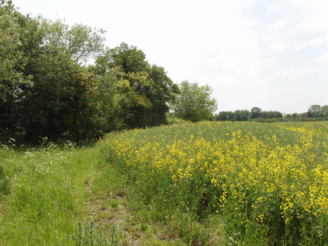 Rape and field edge, by Lower Farm, Stoke Talmage