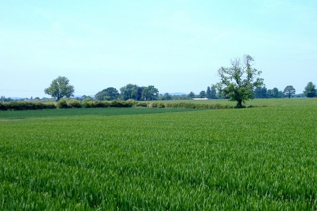 Footpath (!) across wheat field, Newhall