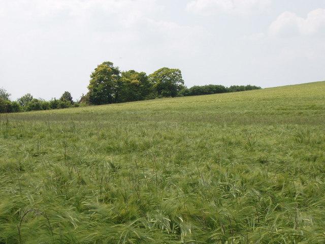Field of barley, Stoke Talmage