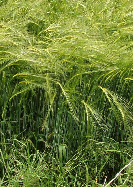 Barley, green before ripening