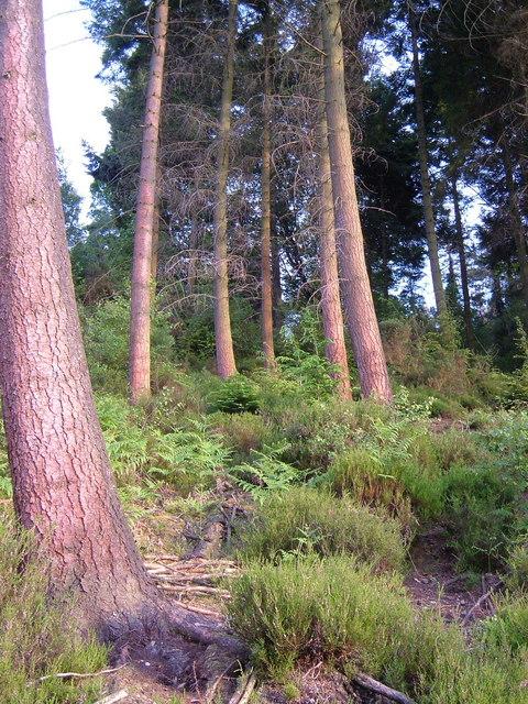 Hitchcombe Wood