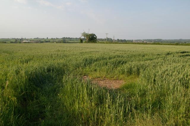 Wheat field, Porters Lane, Woodbury