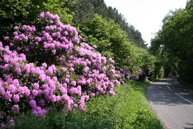 Rhododendron on Whisby Road