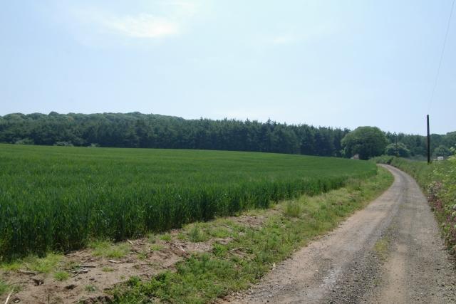 Wheat field, near Hayes Barton