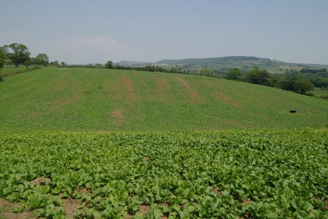 Lettuce field, Bicton College