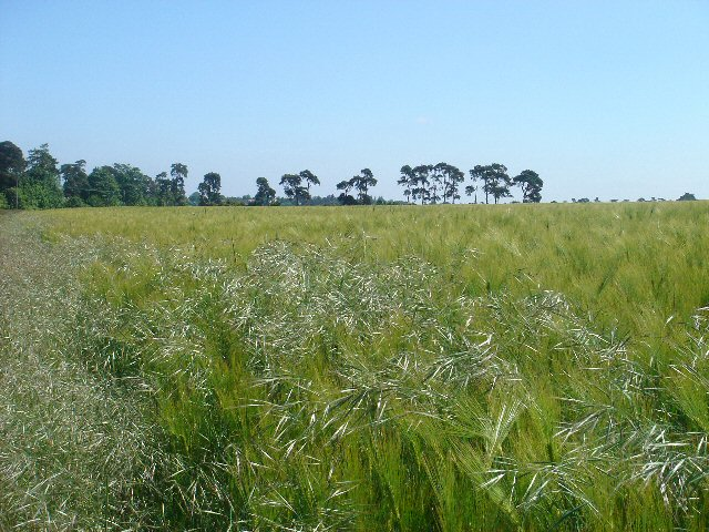 Barley and oats at Westley