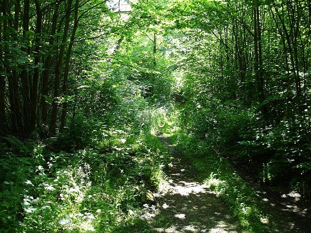 Track through Shulland Wood