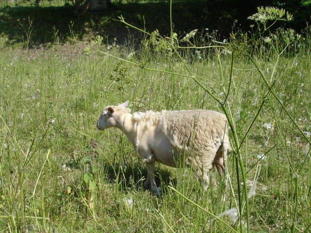 Self-shearing sheep at Seed