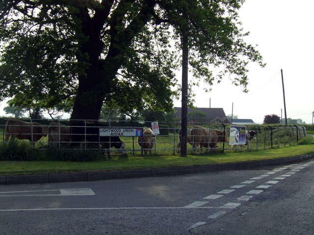 Cattle at Lightwood Green Avenue