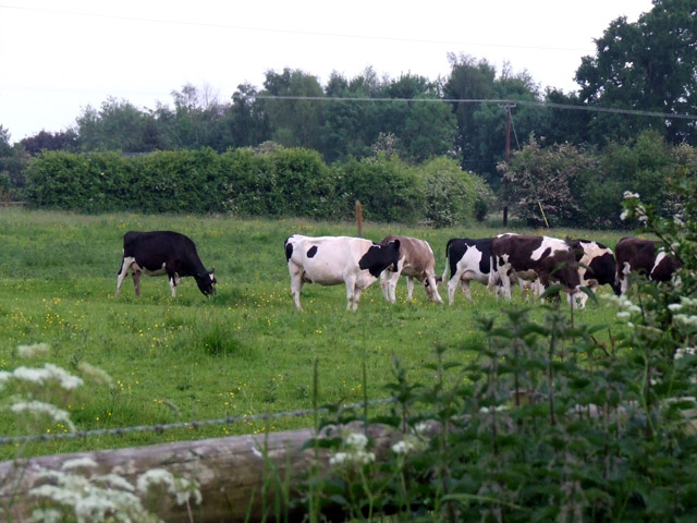 Cows at Little Heath