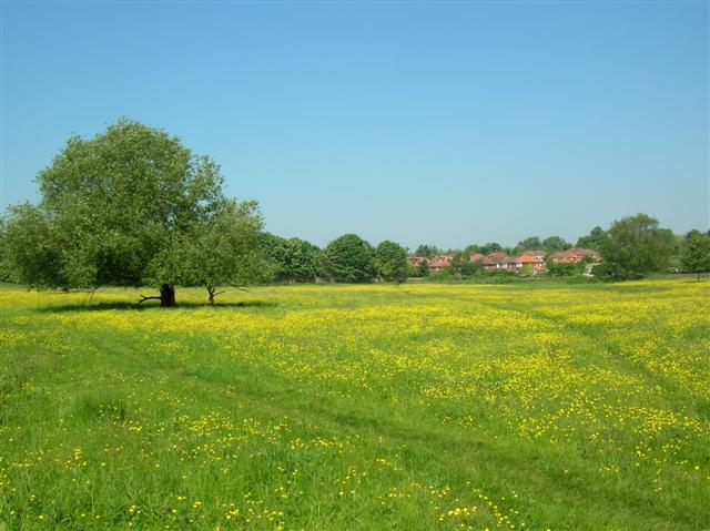 Walmgate Stray with Buttercups
