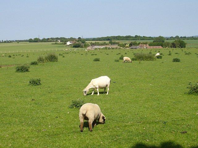 Sheep at Snoad Farm