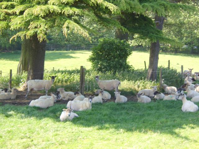 Shady sheep