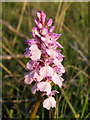 SU3606 : Heath spotted orchid on Yew Tree Heath, New Forest by Jim Champion