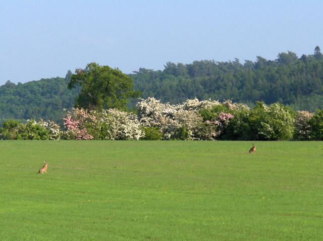 A pair of hares near Gargunnock