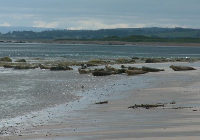 Seals at Lothbeg beach