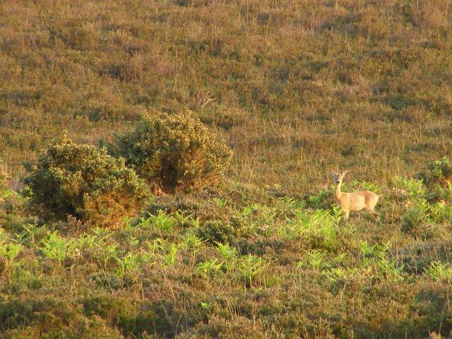 Female roe deer, Black Down, New Forest