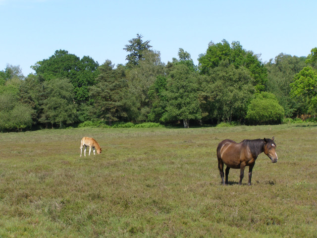 Mare and foal, near Black Barrow, New Forest