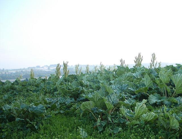 Rhubarb near Easter Rattray