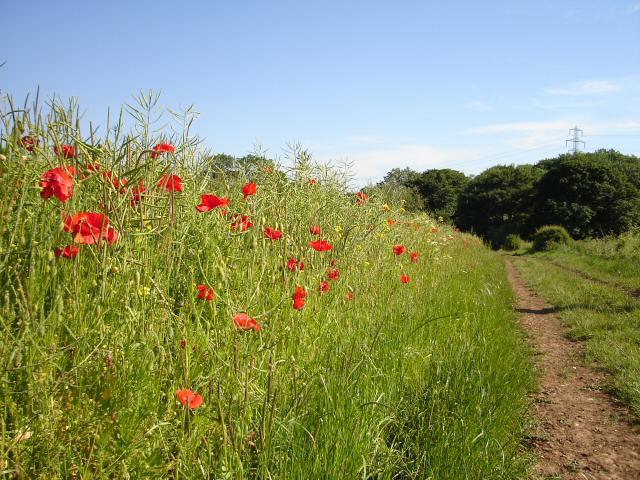 Wild Flower Meadow near Mixbury