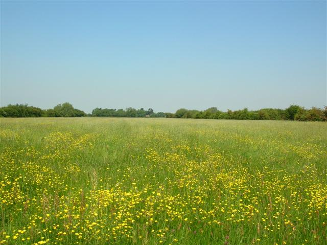 Field of Buttercups - Rufforth