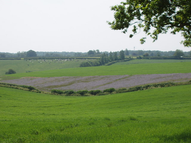 Phacelia on Kingswood Farm near Speen